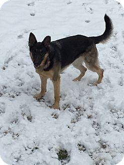 German Shepherd Dog Dog for adoption in Roswell, Georgia - Ellie (Guest)