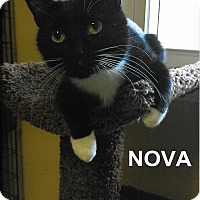 Domestic Shorthair Cat for adoption in Medway, Massachusetts - Nova
