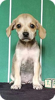 Beagle Mix Puppy for adoption in Troutville, Virginia - Trevor