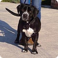 Adopt A Pet :: Darla - Lathrop, CA