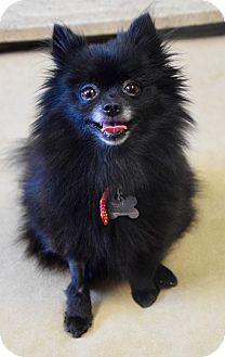 Pomeranian Mix Dog for adoption in Des Moines, Iowa - Annabella
