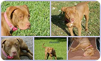 Dogue de Bordeaux/Labrador Retriever Mix Dog for adoption in Homestead, Florida - Meerah