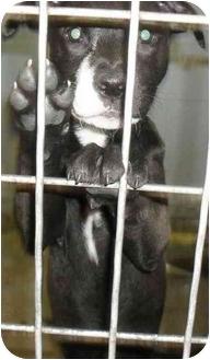 Border Collie Mix Puppy for adoption in Jacksonville, Florida - Destiny