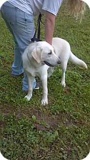 Labrador Retriever Mix Dog for adoption in Morgantown, West Virginia - Gunner