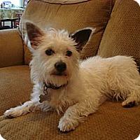 Adopt A Pet :: SHORTY - Torrance, CA