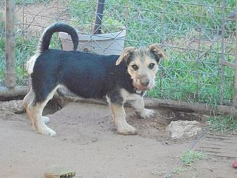 Wirehaired Fox Terrier/Dachshund Mix Puppy for adoption in Anton, Texas - Oscar