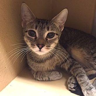 Domestic Mediumhair Cat for adoption in Garner, North Carolina - Lulu