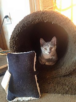 Calico Kitten for adoption in Cameron, North Carolina - Fiesty