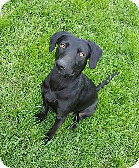 Labrador Retriever Mix Dog for adoption in Indianola, Iowa - Myrtle
