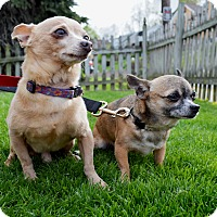 Chihuahua Dog for adoption in Pittsburgh, Pennsylvania - Princessa & Bobbie BONDED PAIR