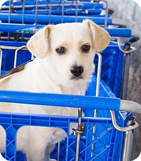 Corgi/Beagle Mix Dog for adoption in Duluth, Georgia - Bonnie and CLYDE (CLYDE)