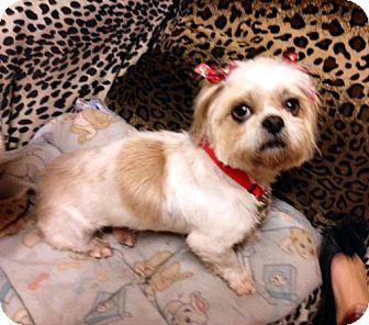 Shih Tzu Dog for adoption in Los Angeles, California - ELIZA