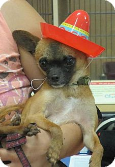 Chihuahua Mix Dog for adoption in Yuba City, California - 03/20 Tommy