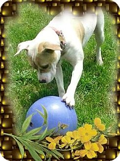 Pit Bull Terrier Mix Dog for adoption in Detroit, Michigan - Hoss