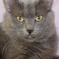 Domestic Mediumhair Cat for adoption in Savannah, Missouri - Kit