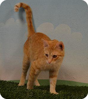 American Shorthair Cat for adoption in Lebanon, Missouri - Angel