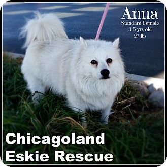 American Eskimo Dog Dog for adoption in Elmhurst, Illinois - Anna