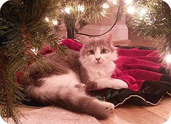 Domestic Longhair Kitten for adoption in Bedford, Virginia - Rocky
