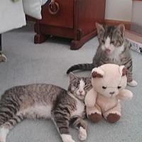 Adopt A Pet :: Tommy - Covington, PA