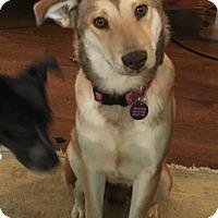 Adopt A Pet :: Greta - Rochester, NH