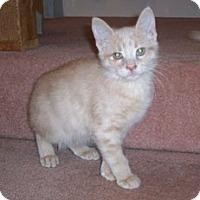 Domestic Shorthair Kitten for adoption in Toledo, Ohio - Elliot