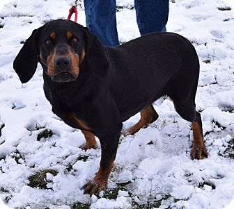Black and Tan Coonhound Dog for adoption in Lisbon, Ohio - Star