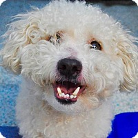 Poodle (Standard) Mix Dog for adoption in Long Beach, California - Oso