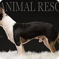 Adopt A Pet :: Harpo - Los Angeles, CA