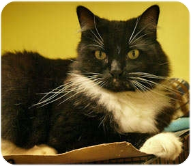 Domestic Longhair Cat for adoption in Milford, Massachusetts - Louie
