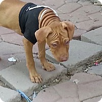 Labrador Retriever Mix Puppy for adoption in Phoenix, Arizona - Fiona