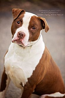Pit Bull Terrier/American Staffordshire Terrier Mix Dog for adoption in Cincinnati, Ohio - Tyson