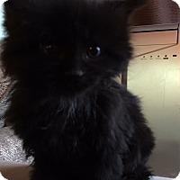 Adopt A Pet :: Bernie II - Loveland, CO