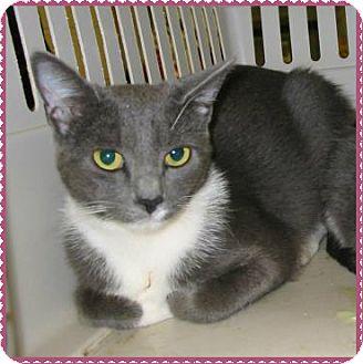 Domestic Shorthair Cat for adoption in Marietta, Georgia - KID (female)