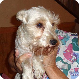 Schnauzer (Miniature) Dog for adoption in Crump, Tennessee - Macy