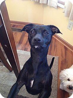 Miniature Pinscher/Chihuahua Mix Dog for adoption in Ashville, Ohio - Lulu