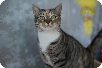 Domestic Shorthair Cat for adoption in Erwin, Tennessee - Ingrid