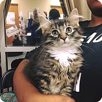Adopt A Pet :: Mr Claws - Chicago, IL