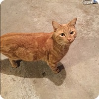 Domestic Shorthair Cat for adoption in West Dundee, Illinois - Luke