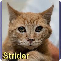 Adopt A Pet :: Strider - Aldie, VA