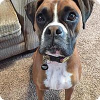Adopt A Pet :: Phoebe - ADOPTION PENDING - Troy, MI