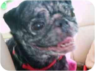 Pug Dog for adoption in Edmeston, New York - Cleo-NY