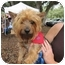 Photo 3 - Yorkie, Yorkshire Terrier/Silky Terrier Mix Dog for adoption in West Palm Beach, Florida - Kenzie