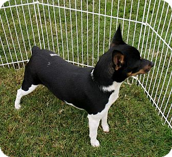 Rat Terrier Dog for adoption in Gig Harbor, Washington - Dazzle - sweet and easy