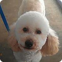Adopt A Pet :: Bono - NON SHED Min Poodle - Phoenix, AZ