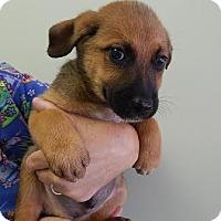 Adopt A Pet :: Dipstick (POM-EC) - Brattleboro, VT
