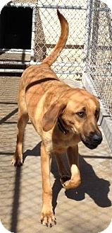 Hound (Unknown Type) Mix Dog for adoption in Plano, Texas - LOUIS