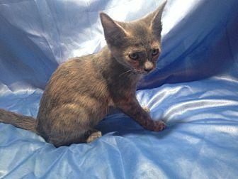 Domestic Shorthair Kitten for adoption in Sarasota, Florida - Josie
