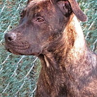 Cane Corso Mix Dog for adoption in West Babylon, New York - Sydney