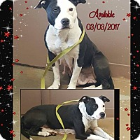 Pit Bull Terrier/Terrier (Unknown Type, Medium) Mix Dog for adoption in Carrollton, Ohio - # 3 STRAY Avail.3/3