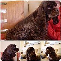 Adopt A Pet :: Joy - Flushing, NY